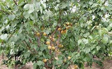 杏树几年结果 栽下几年后能开花结果