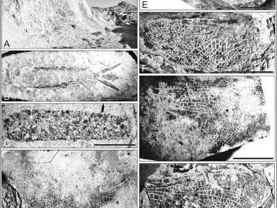 1.1亿年前蜻蜓化石 均没有身体